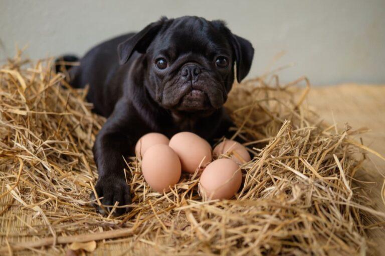 dog eating eggs