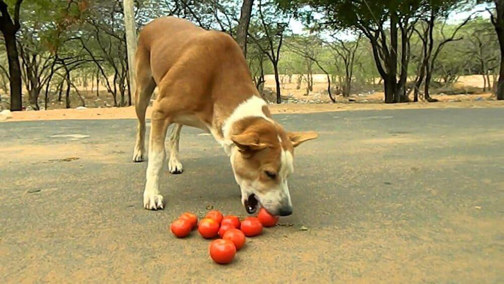 dog eating tomato