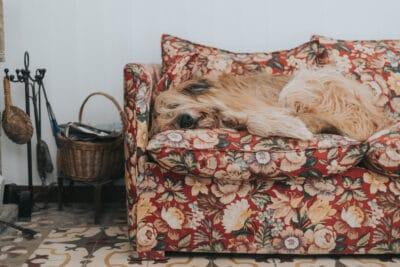 Giant mongrel dog sleeping on a sofa