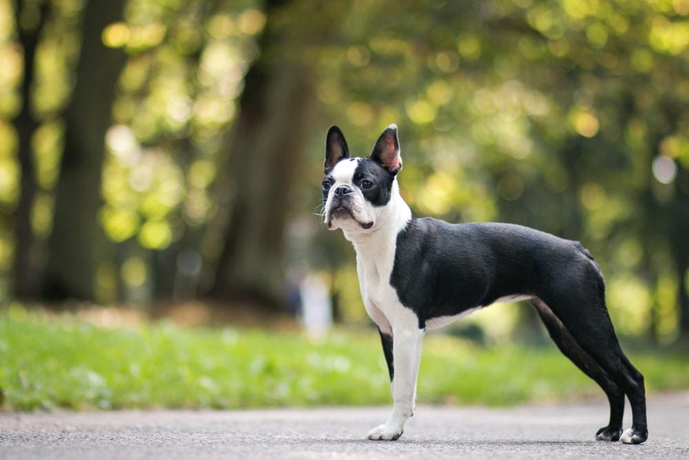Boston terrier posing in the park.