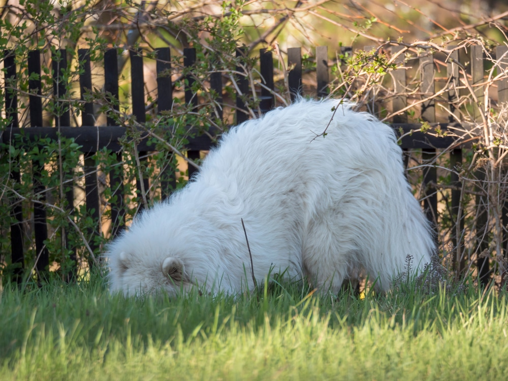 young Samoyed dog with white fluffy coat digging and sniffing under a fence