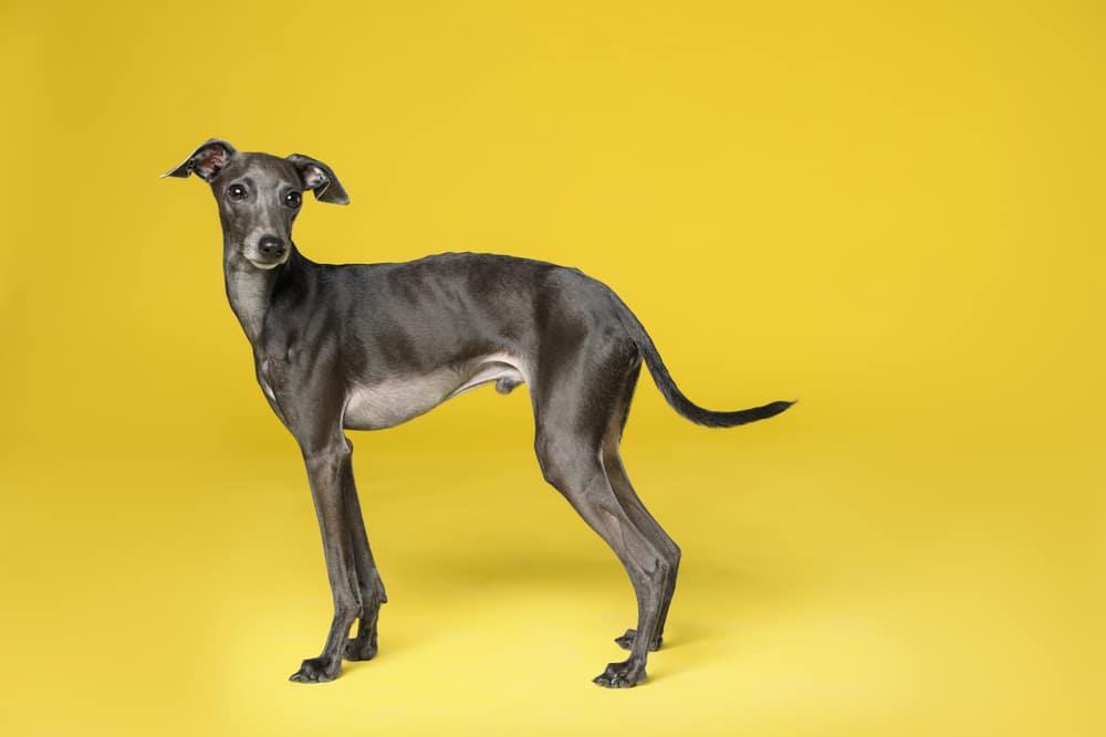 Cute Italian Greyhound dog on yellow background
