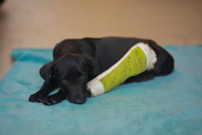 Puppy dog with injured broken bone received first aid treatment with a splintafter color green a visit to the veterinarian hospital.