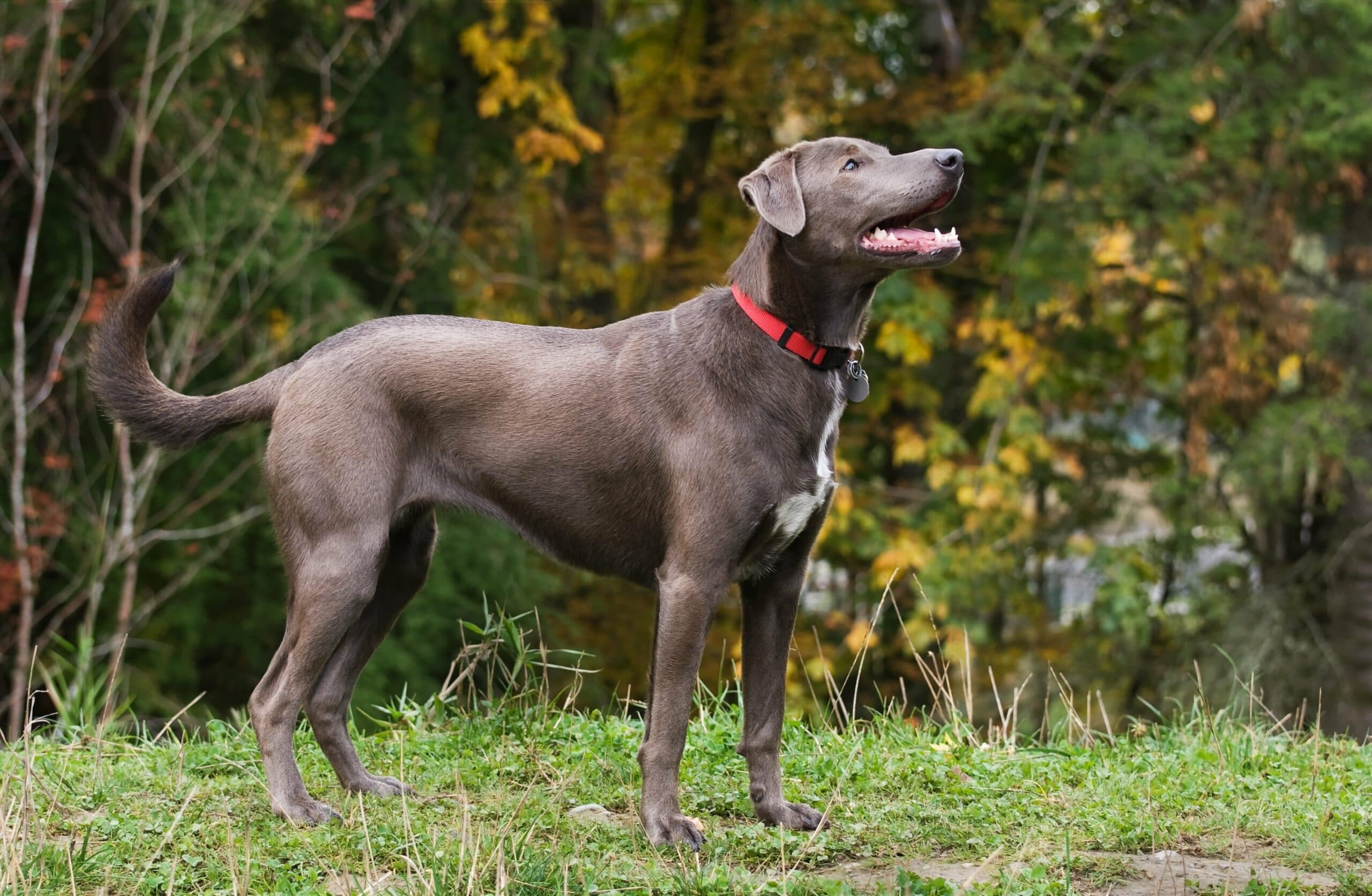 American Blue Lacy