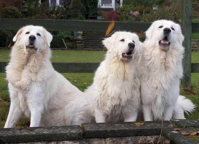 Abruzzenhund Dog