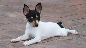 American Toy Terrier